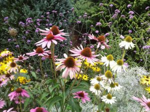 Glorious summer flowering perennials which die down to nothing in winter
