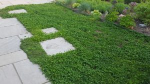 Clover lawn in on of our clients' gardens