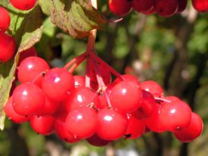 bright viburnum berries