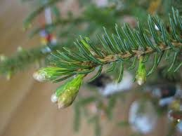 The smell of the pine needles on a christmas tree!