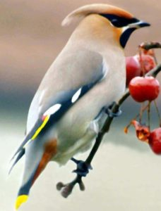 Waxwing feeding on berries in our garden