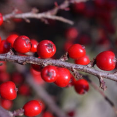 Bring colour to a winter garden by planting the right bushes now