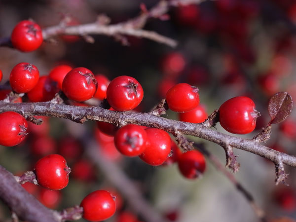 bright red berries on stems of cotoneaster to bring colour to a winter garden
