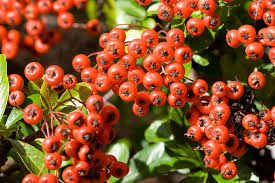 Small red pyracantha berries in cluster