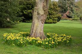 Daffodils naturalised under large tree